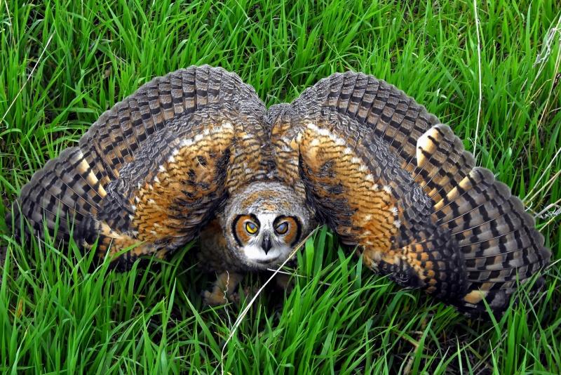 Just owls   Maya